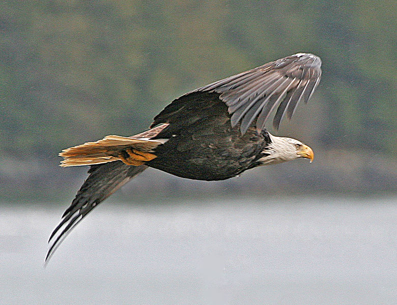 New York: Home of the oldest bald eagle (Or, at least, it was ...