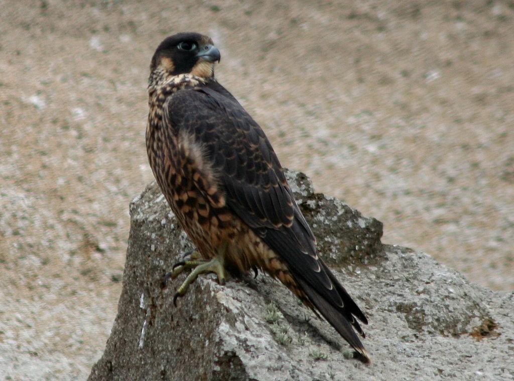 Peregrine Falcon (Wikimedia Photo)