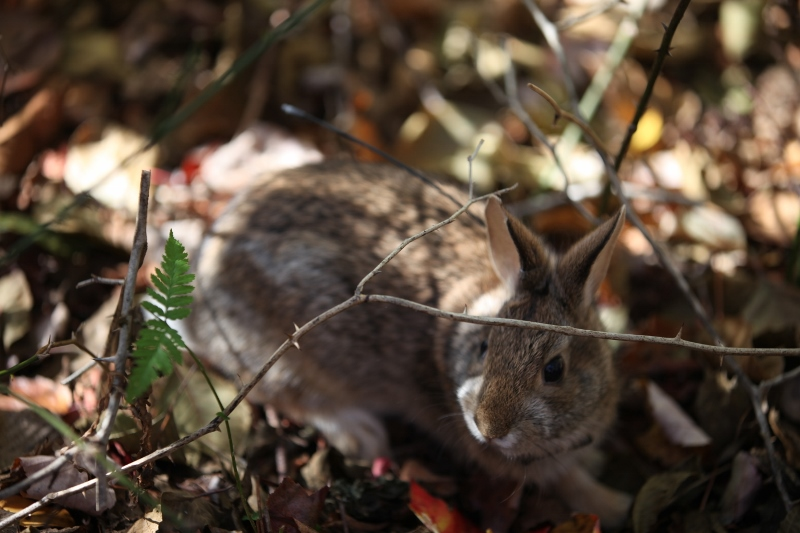 Officials say the cottontail is one of the species that would benefit from a proposed wildlife refuge across much of the Northeast. (Tom Barnes/USFWS Photo)