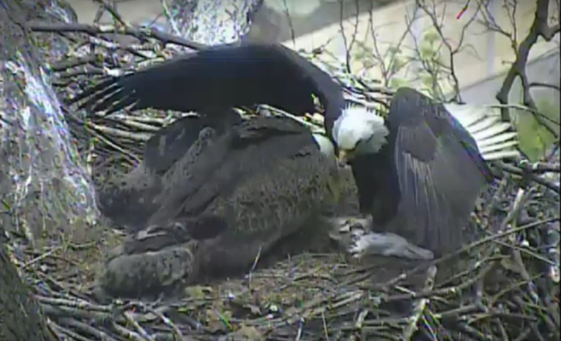 Eagles In Pennsylvania Feed A Cat To Eaglets You Photo