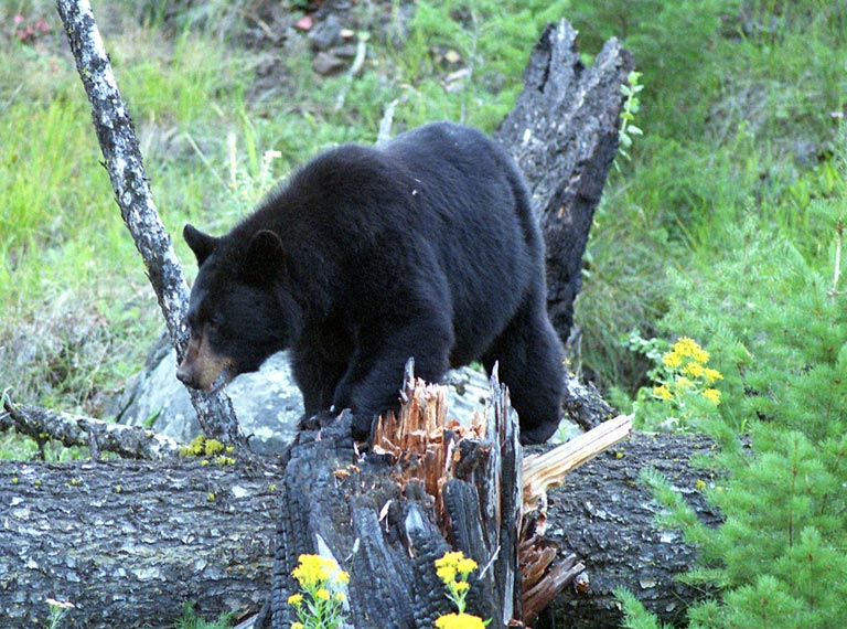 Black Bear - 768 - wikimedia